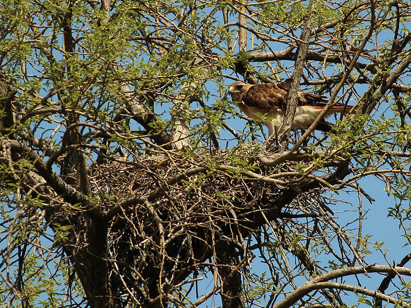 This is the  female perched above the nest.