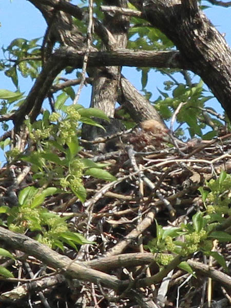 Red-tailed Hawk – Baylor Nest Update 9