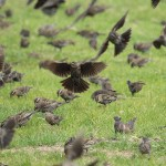 Red-winged Blackbird - A Cloud of Birds