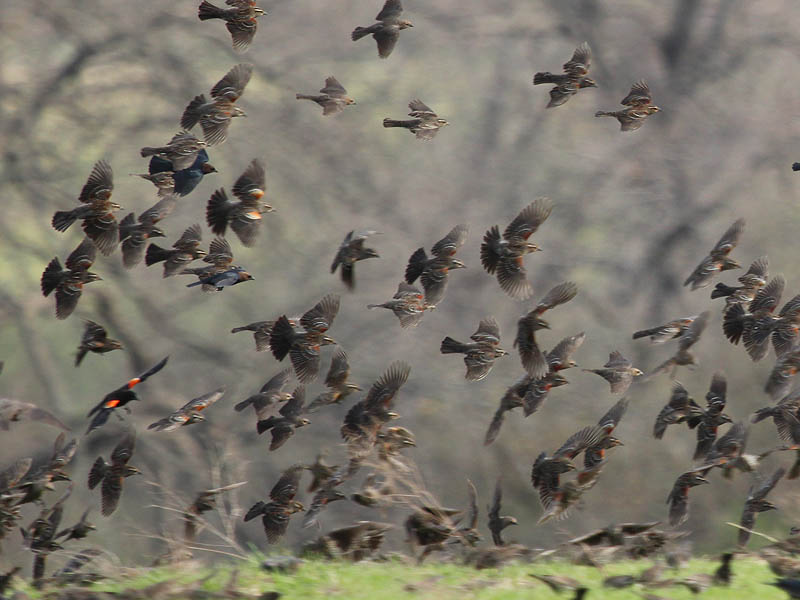 Red-winged Blackbird - A Cloud of Birds