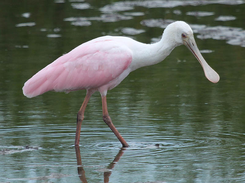 Roseate Spoonbill - First of Season