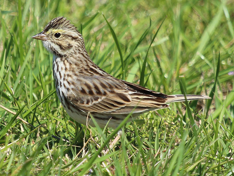 Savannah Sparrow - Short Grass