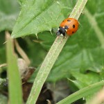 Seven-spotted Lady Beetle - VCDB