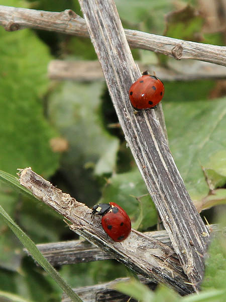 Seven-spotted Lady Beetles - VCDB