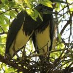 Tricolored Heron - UTSWMC Nest