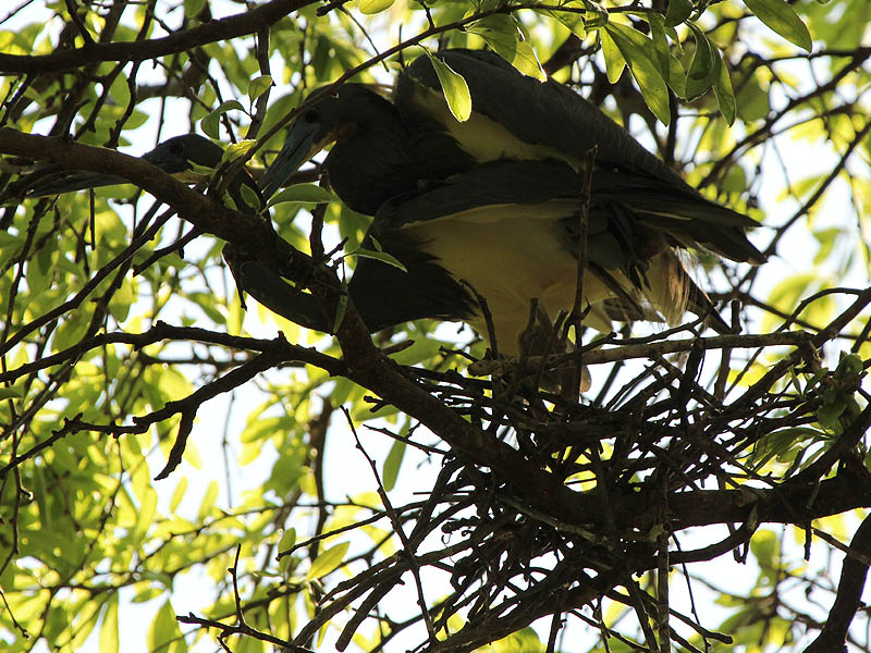 Tricolored Heron - UTSWMC Nest