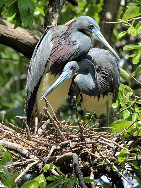Tricolored Heron - UTSWMC Nest Update 1