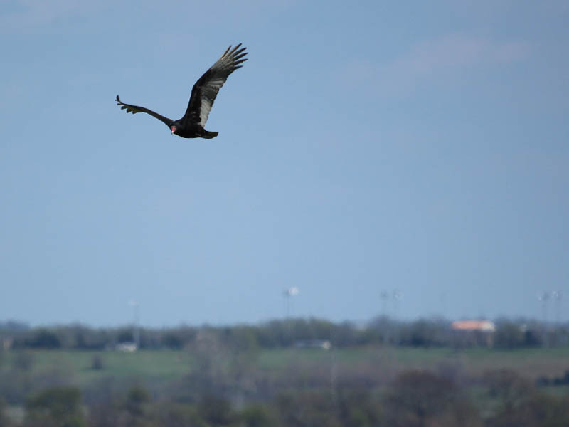 Turkey Vulture - Flyby