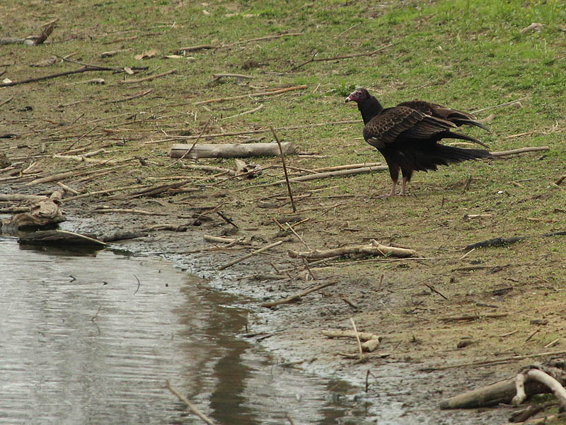 A Turkey Vulture coming to the pond's edge for his morning drink.