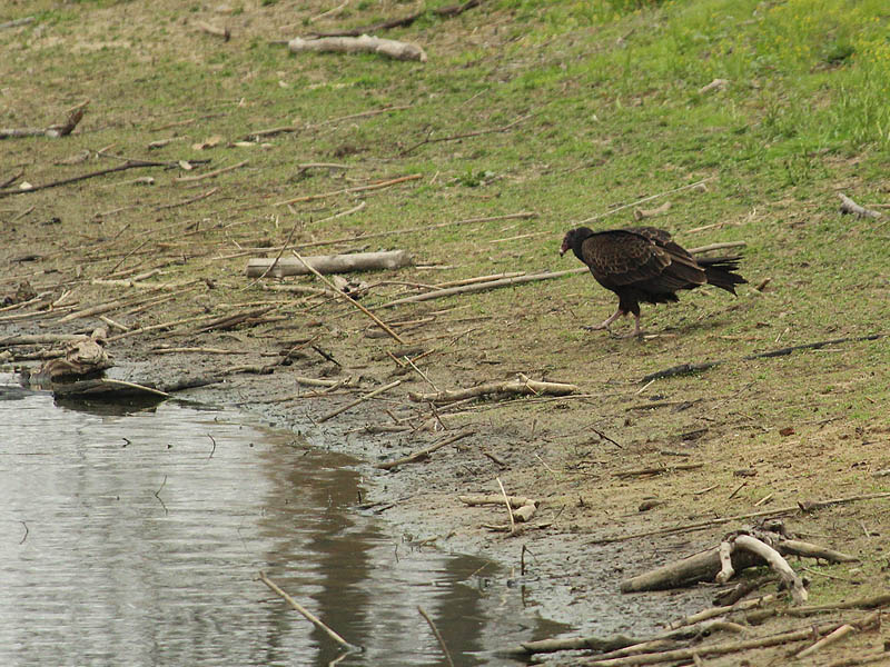 The vulture approached the water cautiously.