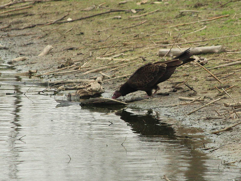 A Turkey Vulture drinking from one of the holding tanks at the VCDB.