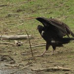Turkey Vulture - Pond Hopping