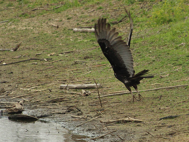 It takes a lot of effort to get the big Turkey Vulture airborne.