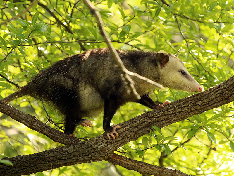 Virginia Opossum - Precarious