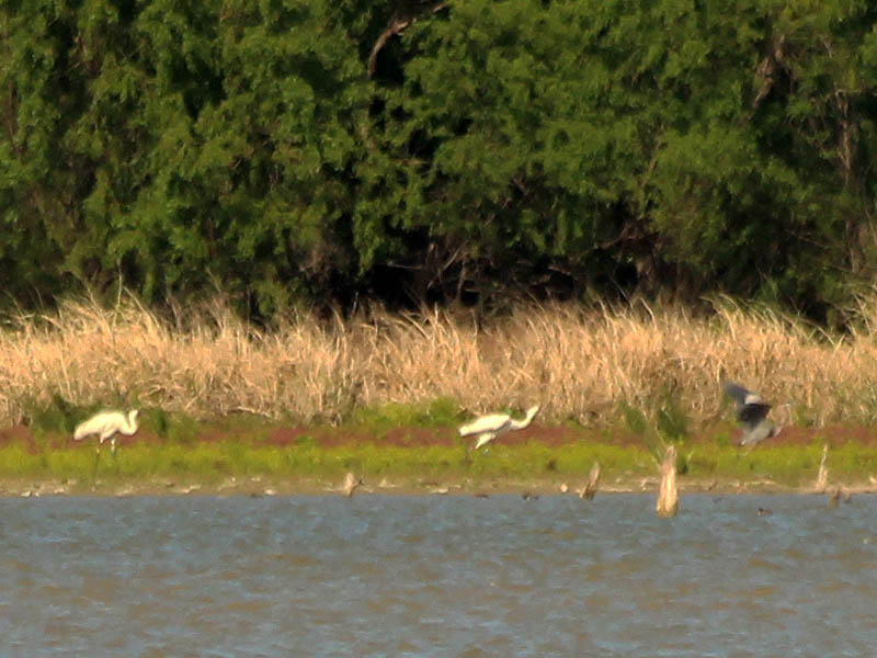 Here one of the Whooping Cranes moves to drive away an offending Great Blue Heron.
