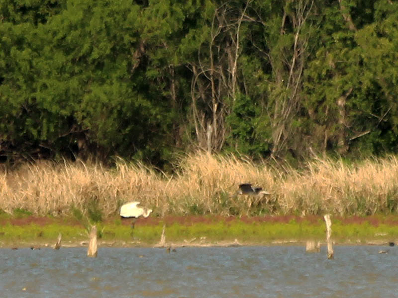 The crane encouraged the smaller heron to leave without much effort.
