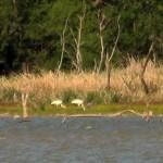 Whooping Crane - Lake Ray Hubbard