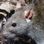 News - Rats Infest Burleson Neighborhood