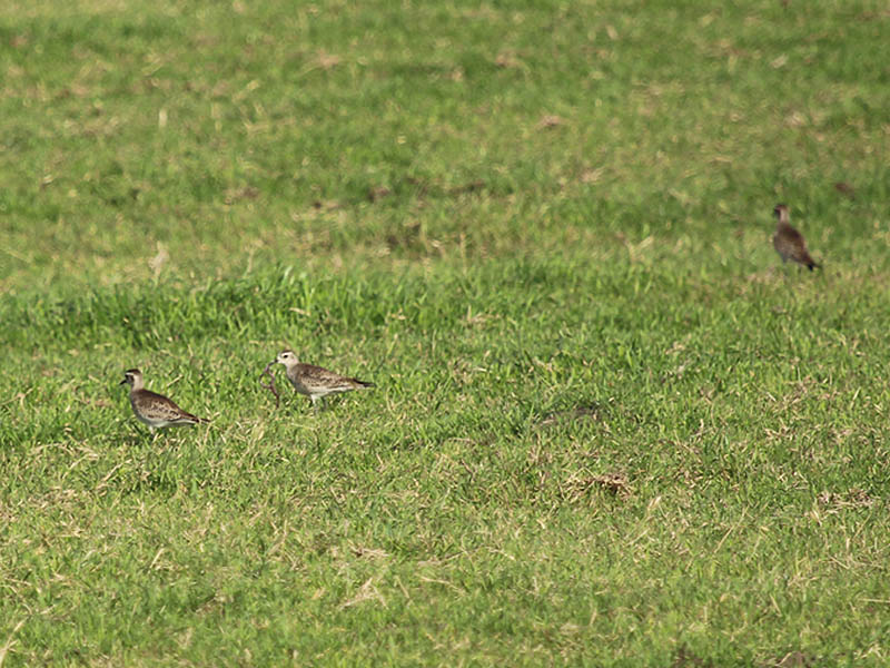 American Golden Plover - Pit Stop