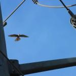 American Kestrel - Courtship