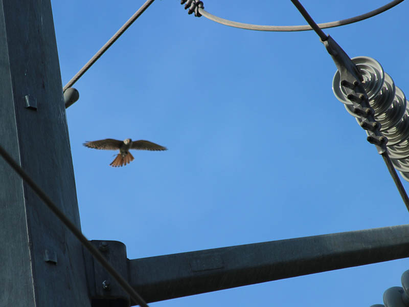The female kestrel approaches the transmission tower carrying a prey animal in her talons.