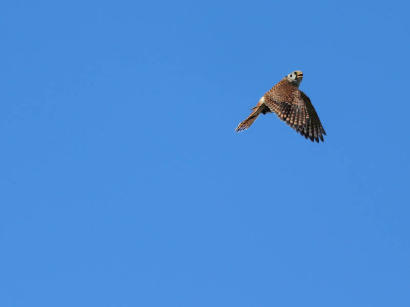 The female kestrel is not as colorful as the male.  Her wings are brown with black spots.  The male's wings are slate gray.