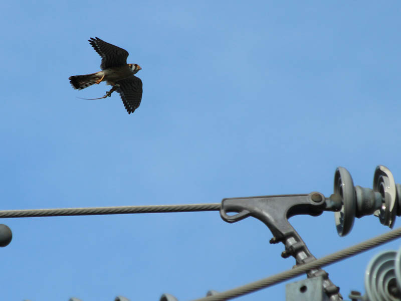The kestrels moved about from wire to wire at the top of the tower, tempting each other with the food they had hunted.