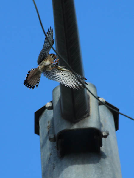 The male lands on a wire.
