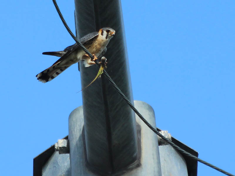 The male's slate gray wings are visible in this picture.  It is interesting to see how the kestrel clasps the wire with only one talon, and uses his other leg and the anole to brace himself.