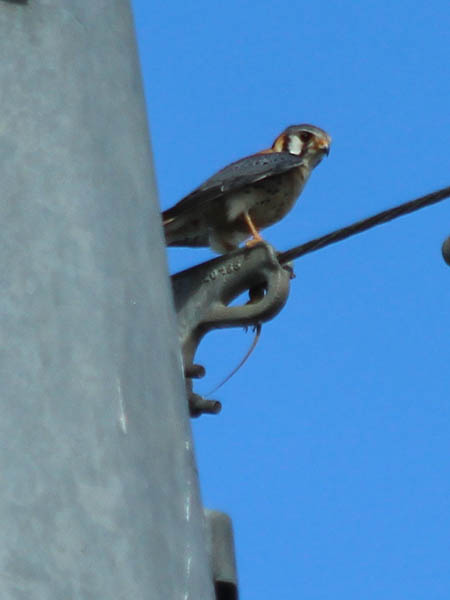 The male moves to a location near the top of the tower.  This spot is very close to the nest.