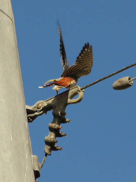 Suddenly the male kestrel becomes very excited.
