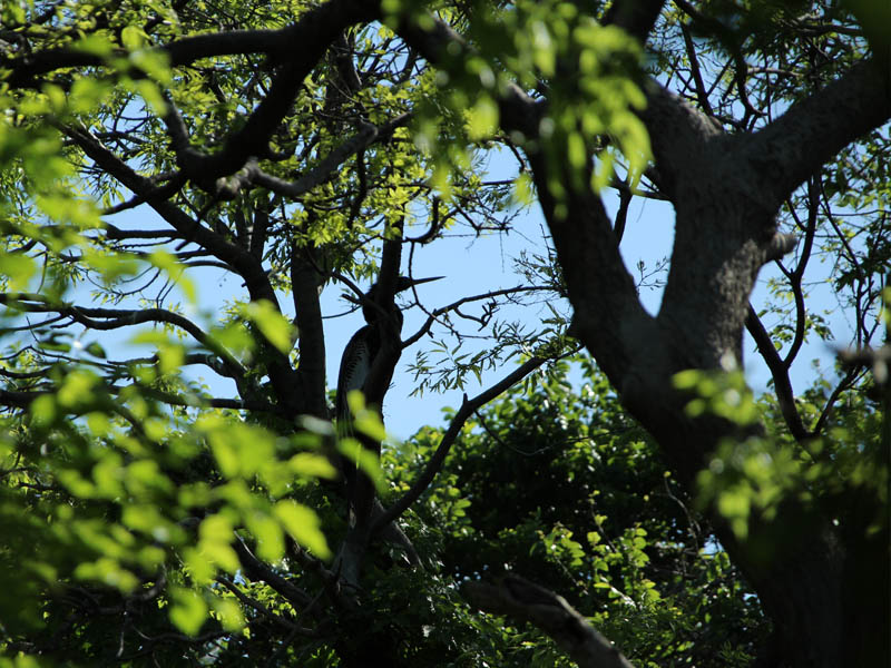 Sometimes Anhingas can be spotted through the brush.  Can you see this one?