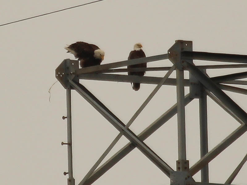 Bald Eagle – Tower Nest Update 13