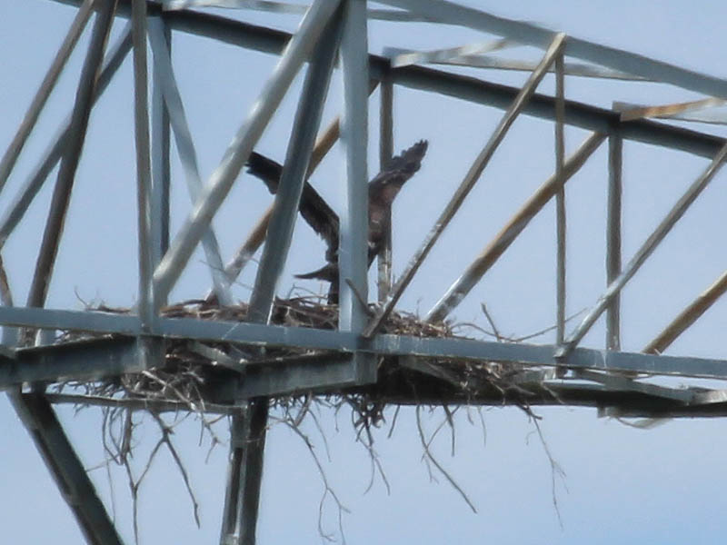 Bald Eagle - Tower Nest Update 14