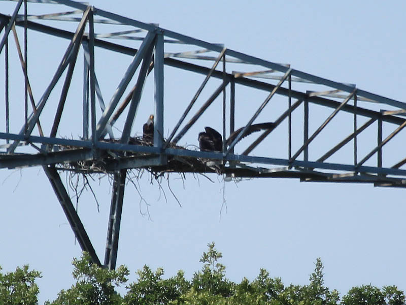 Bald Eagle - Tower Nest Update 15