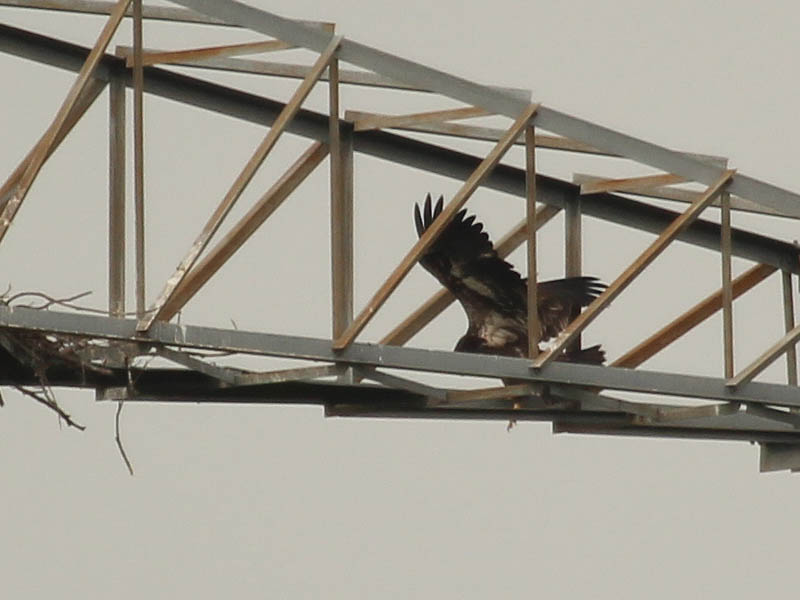 Bald Eagle - Tower Nest Update 16: First Fledge