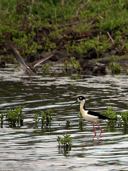 Black-necked Stilt - Long Legs