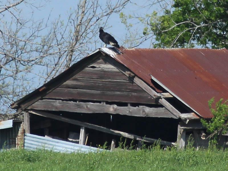 Black Vulture - Barn