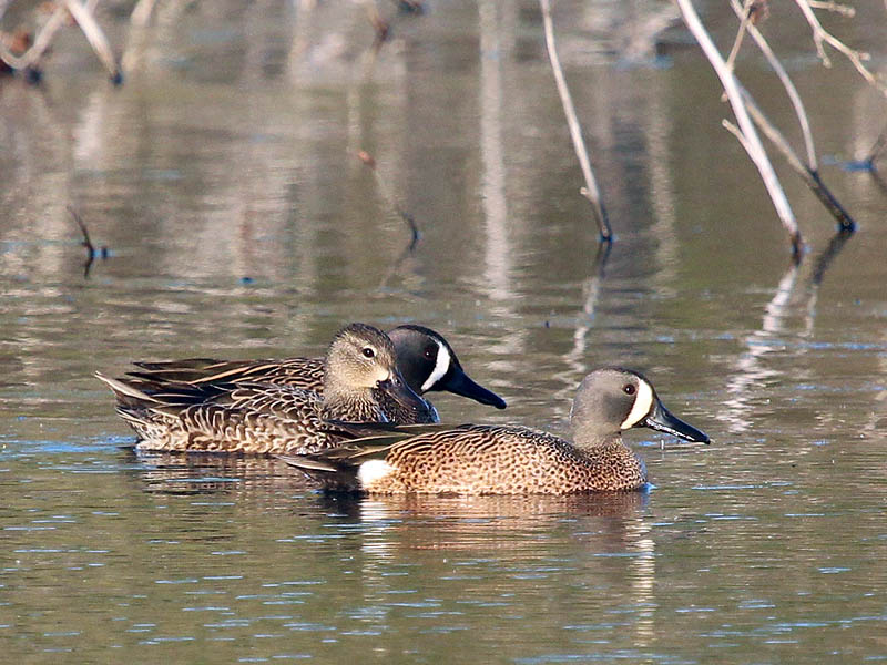 Blue-winged Teal - VCDB