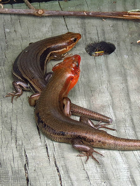 Broad-headed Skink - Courting
