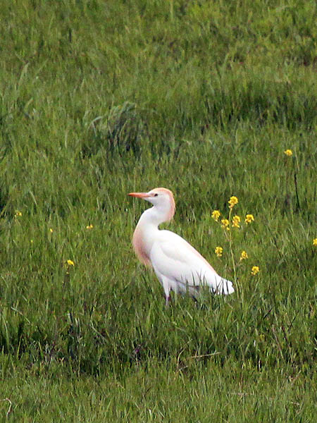 Cattle Egret - Buffet