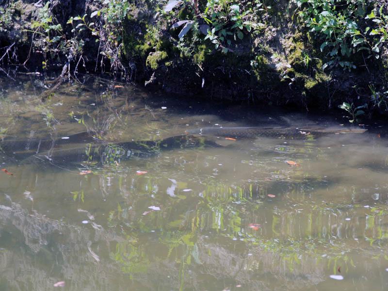 Common Carp - Big Fish