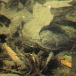 Common Musk Turtle - Hidden
