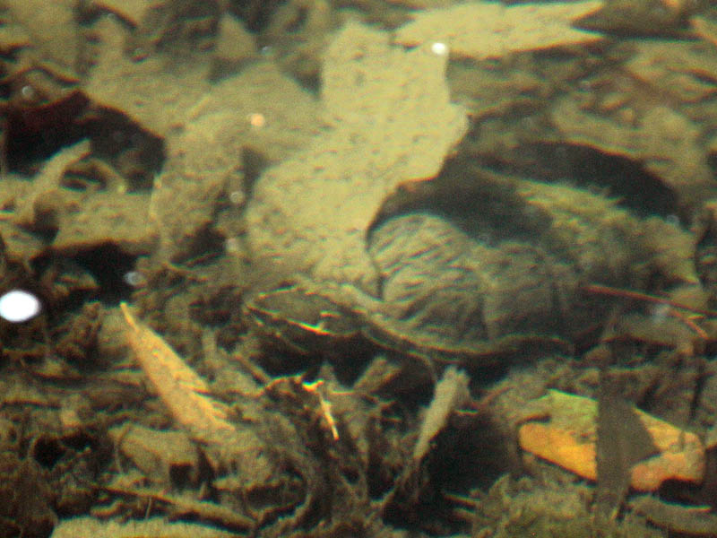 Common Musk Turtle - Hidden