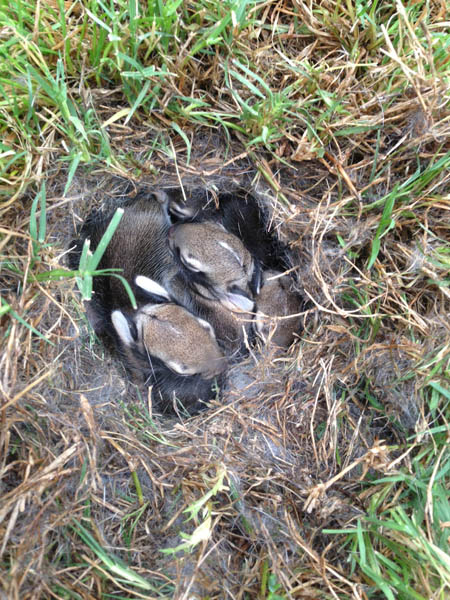 Eastern Cottontail - Nest Full of Babies