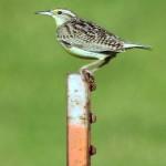Eastern Meadowlark - John Bunker Sands