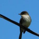 Eastern Phoebe - Blue Sky