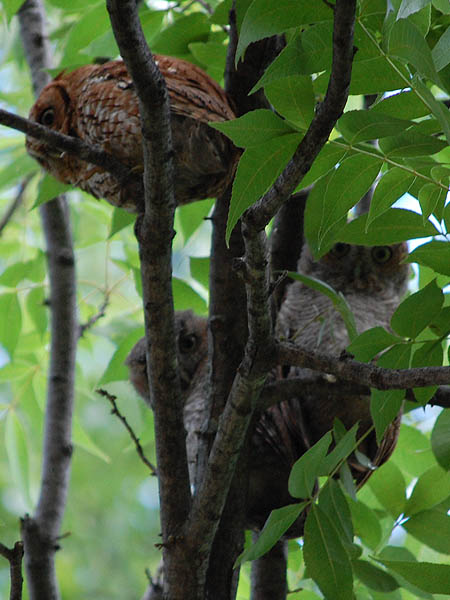 Eastern Screech Owl - They're Back!