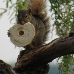 Fox Squirrel - The Most Important Meal of the Day