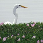 Great Egret - Looking Over